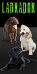 Labrador Puppies Beach Towel
