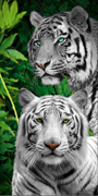 White Tiger beach towels